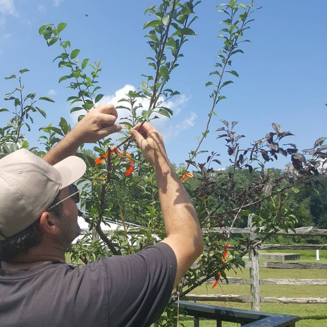 Sam grafting onto a Tree of 40 Fruits. Join us for his lecture tomorrow at 3pm.  #newharmony #indiana #evansville #art #tree #treeof40fruit #treeof40fruits #samvanaken