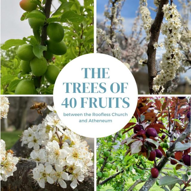 The Trees of 40 Fruits are in bloom! The Trees are extraordinary living works of art that will ultimately grow over 40 different types of stone fruit including peaches, plums, apricots, nectarines, cherries, and almonds. #VisitNewHarmony #NewHarmonyArt #OnlyinNewHarmony
